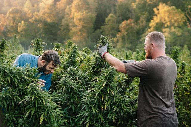 Le CBD en Suisse : ce que vous devez savoir sur le cannabis légal